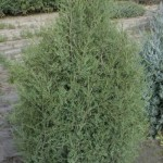 JuniperUS-Cologreen-6307