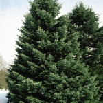 abies-concolor