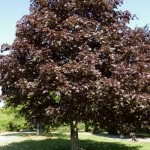 acer-platanoides-royal-red
