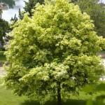 acer-platanoides-variegatum