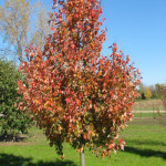 acer-rubrum-autumn-radiance