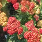 achillea-millefolium-strawberry-seduction-pp18-401