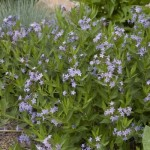 amsonia-blue-ice