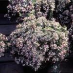 andromeda-polifolia-nana