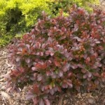berberis-thunbergii-atropurpurea-moretti-select