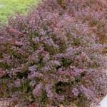 berberis-thunbergii-crimson-pygmy-