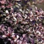 berberis-thunbergii-rose-glow