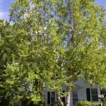 betula-nigra-cully