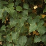 betula-platyphylla-fargo-pp10-963