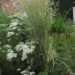 calamagrostis-acutiflora-avalanche