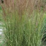 calamagrostis-acutiflora-eldorado
