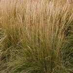 calamagrostis-acutiflora-overdam