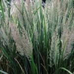 calamagrostis-brachytricha