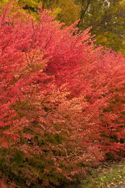 Euonymus Alatus Burning Bush Cross Nurseries