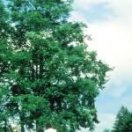 gymnocladus-dioica