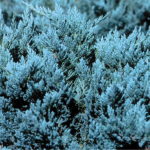 juniperus-horizontalis-blue-chip