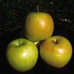 malus-honeygold