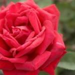 rosa-baiark