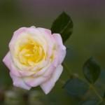 rosa-baibox