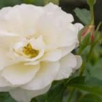 rosa-baicream-pp15-574