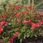 rosa-baifairy-pp16-131
