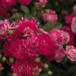 rosa-baiief-pp17-196