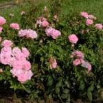 rosa-baimas