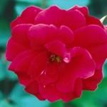 rosa-champlain