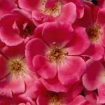 rosa-radcon-pp15-070