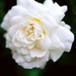 rosa-sea-foam