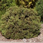 thuja-occidentalis-hetz-midget