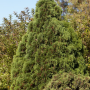 thuja-occidentalis-holmstrup