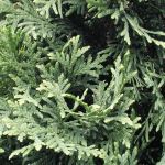 thuja-occidentalis-pyramidalis