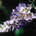 wisteria-macrostachya-aunt-dee